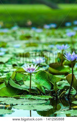 Lotus flower violet colored blooming in pond