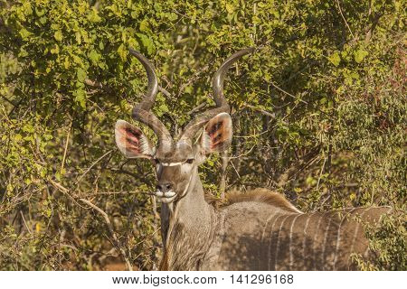 Tragelaphus strepsiceros, greater kudu in the bush in kruger Park, South Africa