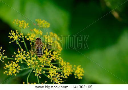 Honeybee On Dill Flowers