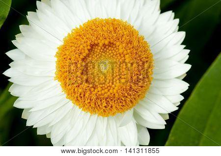 White strawflower (Helichrysum bracteatum) with yellow center