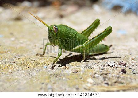 Green grasshoper close up shot on blurred background
