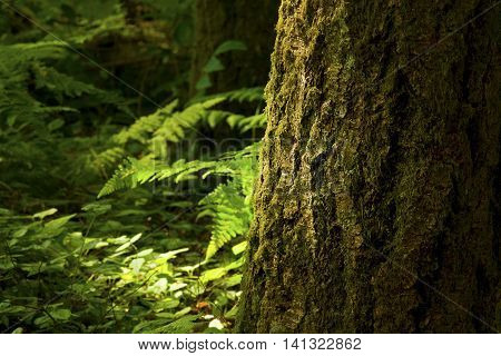 a picture of an exterior Pacific Northwest forest with a  Douglas fir tree