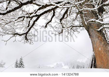 high tree covered by snow in monutains landscape