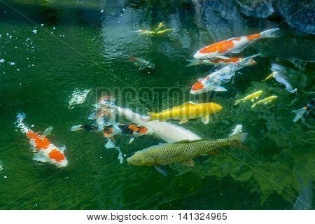 Carp of the pond