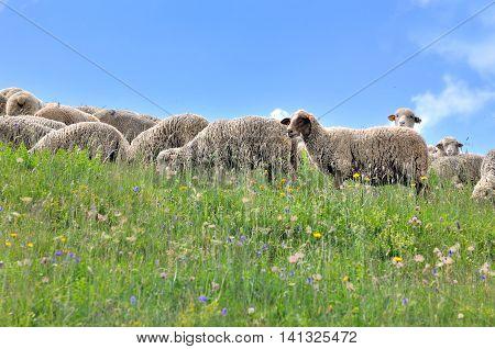 flock of sheep in flowering meadow in Alps