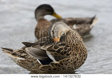 Brown Ducks Anas Castanea