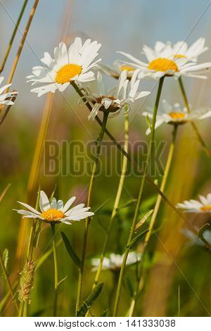 Chamomile is used as a cosmetic. Essential oils and extracts from it is used in the manufacture of creams, soaps, shampoos, lotions, toothpastes