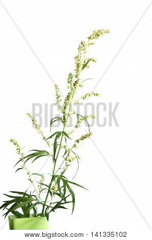 Wormwood plant over white background close up