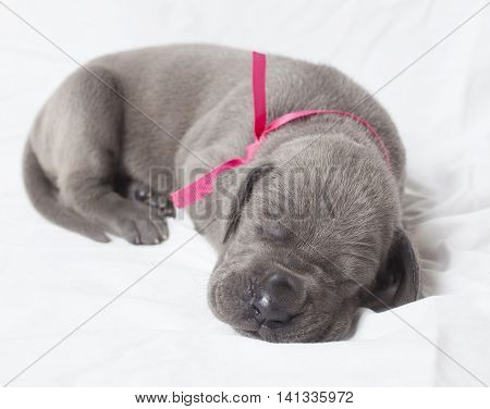 Three week old purebred grey Great Dane sleeping on white