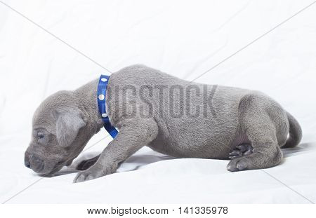Grey purebred Great Dane puppy stretching on a white background