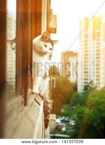 siberian tom cat sit on the balcony close up photo
