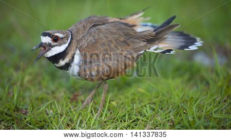 Killdeer warning the photographer away from its eggs and nest in the background