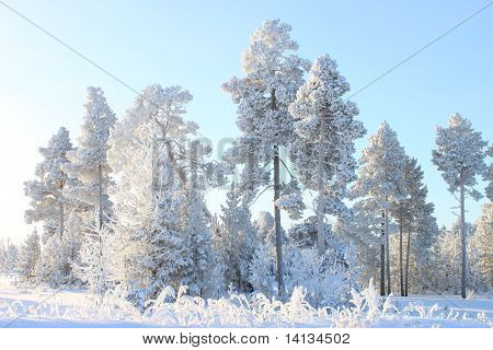 white winter trees