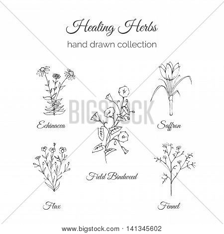 Holistic Medicine. Healing Herbs Illustration. Handdrawn Echinacea, Flax, Field Bindweed, Saffron and Fennel. Health and Nature collection. Vector Ayurvedic Herb. Herbal Natural Supplements. Organic plants.