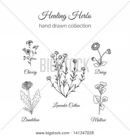 Healing Herbs Illustration. Health and Nature collection. Holistic Medicine Herbage. Vector Ayurvedic Herb. Herbal Natural Supplements. Organic plants.