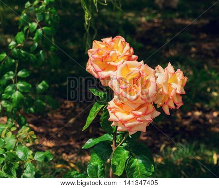Scarlet yellow cream pink roses in the garden leaves background of greens