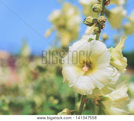Insect bee pollinates flower white mallow in the garden with flowers mallows