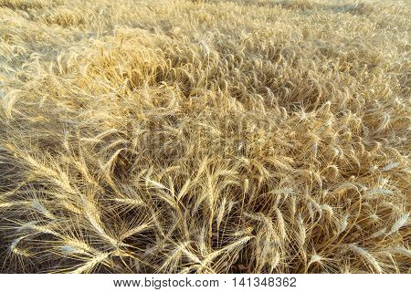 Harvest Bread in spikelets of wheat in the field.