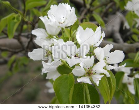 Beautiful apple tree flowers in the spring garden.