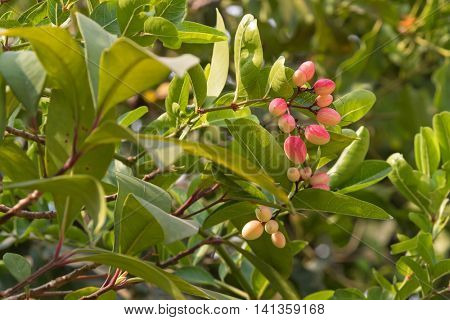 Red pink Crane berry fruit of Karonda plant grown in Thailand, Asia