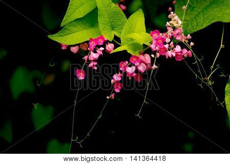 confederate vine Coral vine Mexican coral vine Mexican creeper Queen's jewels Queen's wreath