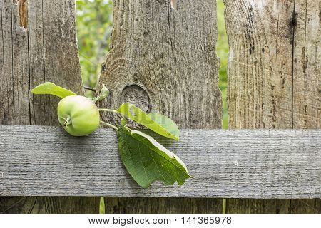 Tree branch with unripe apple lays on an old wooden the fence in a village