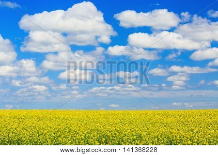 Farm field of canola or rapeseed in rural Prince Edward Island, Canada