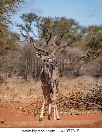 Kudu bull at a watering hole in Southern African savanna