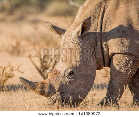 White Rhinoceros grazing in Southern African savanna