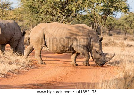 White Rhinoceros crossing road in Southern African savanna