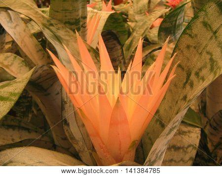 Aechemea. Planta con flores grandes y  preciosas