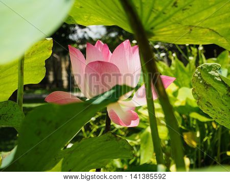 The beautiful of waterlily of lotus flower hidden in green lotus leaf foreground.