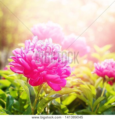 Peonies Fuchsia Colour Summer Green Garden Light