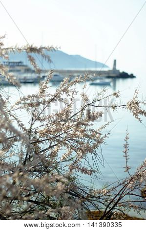 Branches of a blossoming white flowers of tamarisk, which grows on the coast