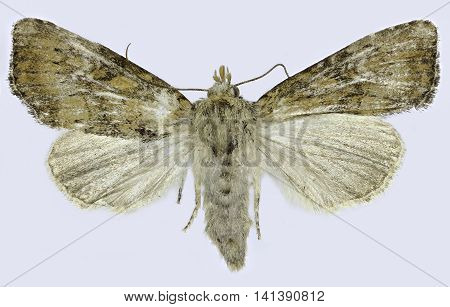 Slender Brindle on white Background  -  Apamea scolopacina (Esper, 1788)