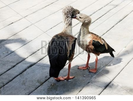 Pair of Orinoco Geese with their heads together on a boardwalk, summer, Landscape