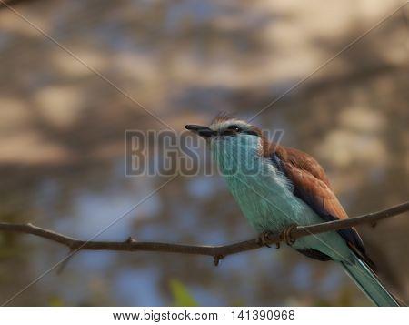 Bird, Brown with Aqua Breast and black beak sitting on Tree Branch blurred nature setting.