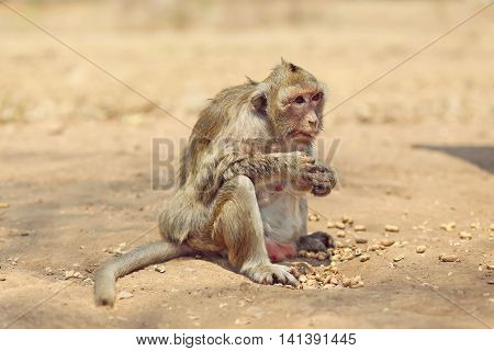 Portrait of monkey in temple - eating, playing