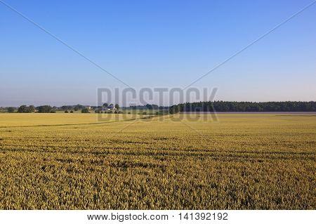 Golden Wheat Crop In Summer