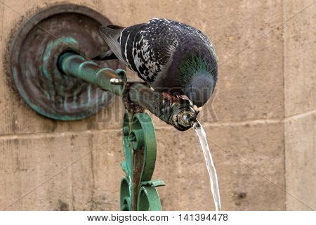 Pigeon drinking from a fountain on a hot summer day