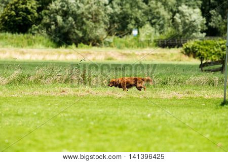 Ginger Retriever Dog Walking On Grass In Rural Area.