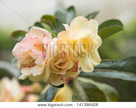 Desert Rose Flower, Desert Rose, Mock Azalea In National Garden