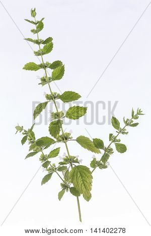lemon balm Melissa officinalis frech and aromatic