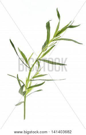 Fresh tarragon herbs, Tarragon herbs close up