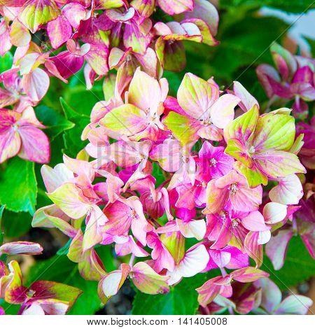 Pink and green Hydrangea flower (Hydrangea macrophylla)