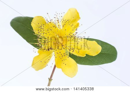 Isolated blossom of a hypericum flower St. John's wort