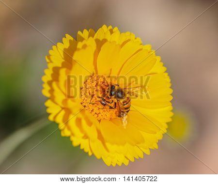 Marigold With Honeybee
