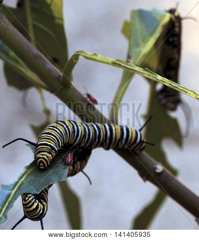 Monarch Caterpillar and Red Aphids eating Butterfly Weed, Portrait