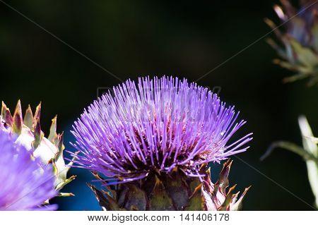 Violet thorny flower in the Botanical Garden of Barcelona