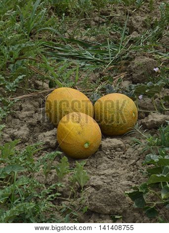 Melons, Plucked From The Garden, Lay Together On The Ground